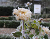 A frozen rose in Bushey Rose Garden