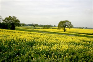 fields near South Mimms with oilseed rape