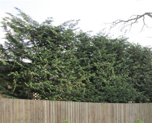 hedge showing above a wooden fence